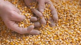 Vers geoogste graankorrels Landbouwachtergrond, graan het oogsten stock footage