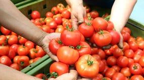 Vers Geoogste Tomaten Stock Afbeelding