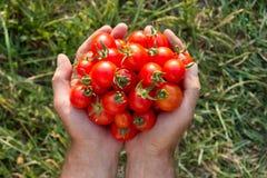 Vers geoogste tomaten in handen Stock Afbeelding