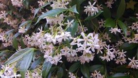 Vers geopende witte jasmijn in een volledige bloei van de lente stock footage