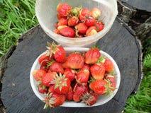 Vers geplukte aardbeien De nieuwe oogst Stock Afbeeldingen