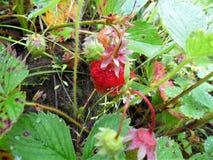 Vers geplukte aardbeien De nieuwe oogst Stock Foto