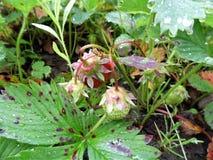 Vers geplukte aardbeien De nieuwe oogst Stock Foto's