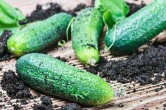 Vers geplukte komkommers op de lijst Royalty-vrije Stock Afbeelding
