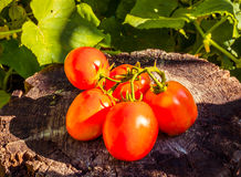 Vers geplukte tomaten Stock Fotografie