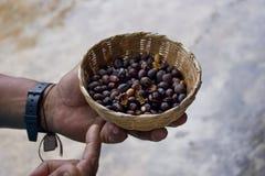 Vers Geroosterde die Koffiebonen door een Landbouwer worden gehouden royalty-vrije stock foto's