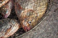 Vers gevangen riviervissen in het ijzernet Royalty-vrije Stock Foto