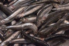 Vers gevangen sardines stock foto