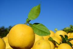 Vers grapefruitgewas royalty-vrije stock afbeeldingen