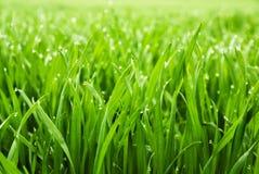 Vers gras met dauwdalingen Royalty-vrije Stock Afbeeldingen