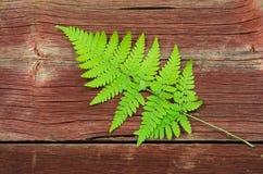 Vers groen adelaarsvarentakje Stock Foto's