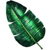 Vers groen banaanblad, waterverfillustratie Stock Afbeelding