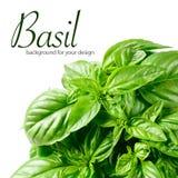 Vers groen basilicum stock foto's
