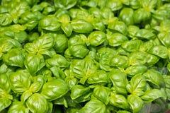 Vers groen basilicum bij de landbouwbedrijfmarkt Royalty-vrije Stock Foto