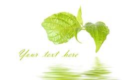 Vers groen blad royalty-vrije stock afbeeldingen