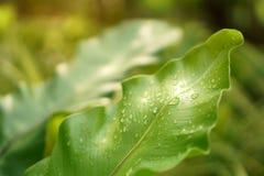 Vers groen blad met dauwdalingen van het nestvaren van de Vogel onder ochtendzonlicht, een epiphytic installatie in Aspleniaceae- royalty-vrije stock foto's