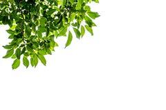Vers groen bladerenkader op witte achtergrond Royalty-vrije Stock Foto
