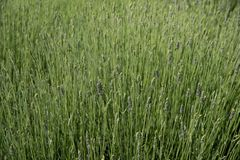 Vers groen bloeiend gebied van lavendel kruideninstallaties Royalty-vrije Stock Afbeelding