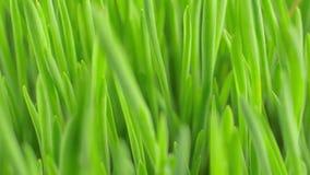Vers groen de lentegras met de close-up van dauwdalingen stock videobeelden