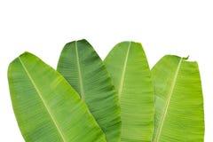 Vers groen die banaanblad op wit wordt geïsoleerd Gespaard met het knippen van p royalty-vrije stock foto