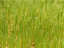 Vers groen en jong tarwegras met dalingswater Stock Foto