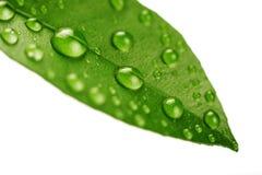 Vers groen geïsoleerdn blad royalty-vrije stock foto's