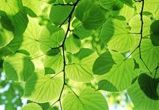 Vers groen gebladerte Royalty-vrije Stock Foto's