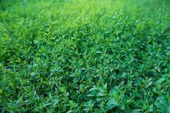 Vers groen gras Royalty-vrije Stock Foto's