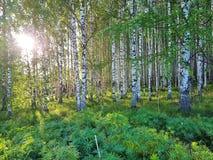 Vers groen gras en berkbosje op de zomer De lentesc?ne in het berkehout stock foto