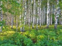 Vers groen gras en berkbosje op de zomer De lentesc?ne in het berkehout stock afbeeldingen