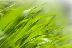 Vers groen gras in het ochtendlicht Stock Foto's