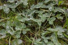 Vers groen gras met dalingen van water Royalty-vrije Stock Foto
