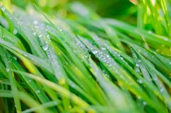 Vers groen gras met de close-up van dauwdalingen De achtergrond van de aard stock afbeelding