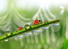 Vers groen gras met ochtenddauw en onzelieveheersbeestjes Stock Foto