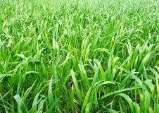 Vers groen gras op een zonnig gebied, de wintertarwe het planten stock foto