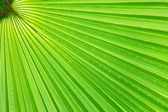 Vers, groen palmblad op een Zonnige dag Diagonaal patroon, exemplaarruimte De zomerachtergrond, natuurlijke textuur stock afbeelding