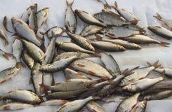 Vers het gevangen vissen liggen stock afbeelding