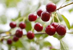 Vers kersenfruit Stock Foto's