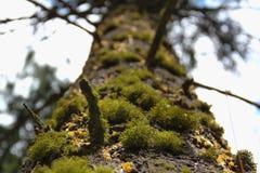 VERS LE HAUT d'un arbre moussu Photos stock