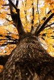 Vers le haut d'un grand arbre d'automne Photo libre de droits