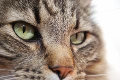 Vers le haut de Kitty Face étroite Images libres de droits