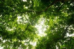 Vers le haut de la feuille de vert de vue sur l'arbre de branches dedans dans la forêt Photo libre de droits