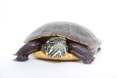 Vers le haut de la fin avec la tortue de l'eau photographie stock libre de droits