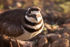 Vers le haut de la fin d'un oiseau de Killdeer photographie stock libre de droits