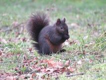 Vers le haut du bel écureuil d'arbre étroit Image libre de droits