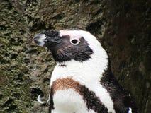 Vers le haut du pingouin africain étroit humide Photographie stock