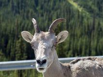 Vers le haut du regard fixe étroit de chèvre de montagne Photographie stock
