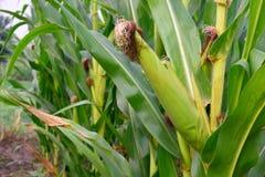 Vers maïskolfgraan in landbouwbedrijf Royalty-vrije Stock Afbeeldingen