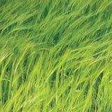 Vers Nieuw Groen Gemeenschappelijk Wild van het Gerstgebied Horizontaal Patroon Als achtergrond, Hordeum vulgare L De Metafoorcon Royalty-vrije Stock Afbeelding