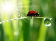 Vers ochtenddauw en onzelieveheersbeestje Stock Foto